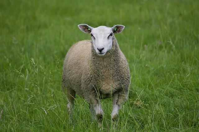 ovce, tráva