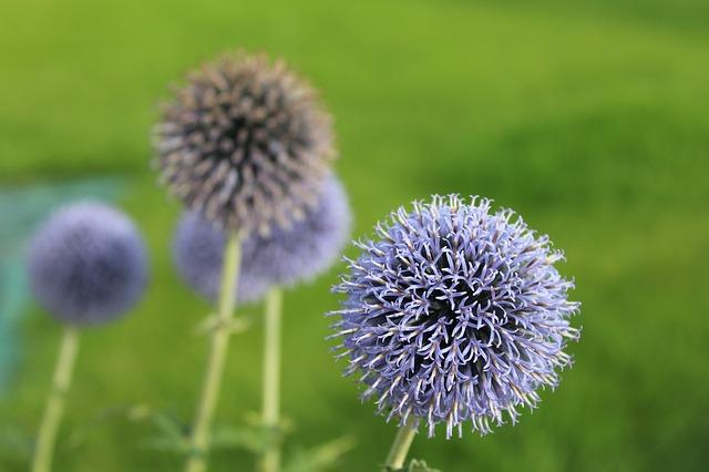 fialové květy ostropestřce